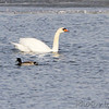 Mute Swan and Mallard  <br /> Ellis Bay <br /> Riverlands Migratory Bird Sanctuary