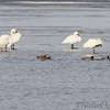 Tundra and Trumpeter Swans <br /> Mallards and Gadwall <br /> Ellis Bay <br /> Riverlands Migratory Bird Sanctuary