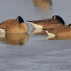 Canada Geese <br /> Ellis Bay <br /> Riverlands Migratory Bird Sanctuary