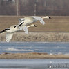Trumpeter Swans <br /> Ellis Bay <br /> Riverlands Migratory Bird Sanctuary