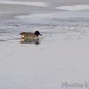 Green-winged Teal <br /> Ellis Bay <br /> Riverlands Migratory Bird Sanctuary