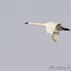 Trumpeter Swan <br /> Ellis Bay <br /> Riverlands Migratory Bird Sanctuary