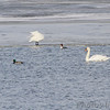 Mute Swan and Tundra Swans <br /> Common Mergansers and Mallards<br /> Ellis Bay <br /> Riverlands Migratory Bird Sanctuary