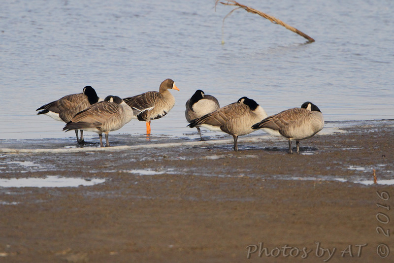Canada Goose <br /> and Greater White-fronted Geese <br /> Ellis Bay <br /> Riverlands Migratory Bird Sanctuary