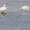 Trumpeter Swans <br /> and Common Mergansers <br /> Ellis Bay <br /> Riverlands Migratory Bird Sanctuary