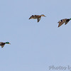 Mallards <br /> Ellis Bay <br /> Riverlands Migratory Bird Sanctuary