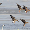 Greater White-fronted Geese <br /> Ellis Bay <br /> Riverlands Migratory Bird Sanctuary