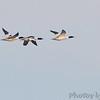 Common Mergansers <br /> Ellis Bay <br /> Riverlands Migratory Bird Sanctuary