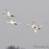 Trumpeter Swans <br /> Ellis Bay <br /> Riverlands Migratory Bird Sanctuary