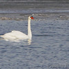Mute Swan  <br /> Ellis Bay <br /> Riverlands Migratory Bird Sanctuary