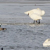Tundra Swan and Trumpeter Swans <br /> Ellis Bay <br /> Riverlands Migratory Bird Sanctuary