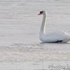Mute Swan  <br /> Heron Pond <br /> Riverlands Migratory Bird Sanctuary