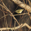 Ruby-crowned Kinglet <br /> Maple Island Road <br /> Riverlands Migratory Bird Sanctuary