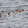 Canvasbacks<br /> Ellis Bay <br /> Riverlands Migratory Bird Sanctuary