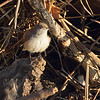 Rock Wren <br /> Maple Island Road <br /> Riverlands Migratory Bird Sanctuary
