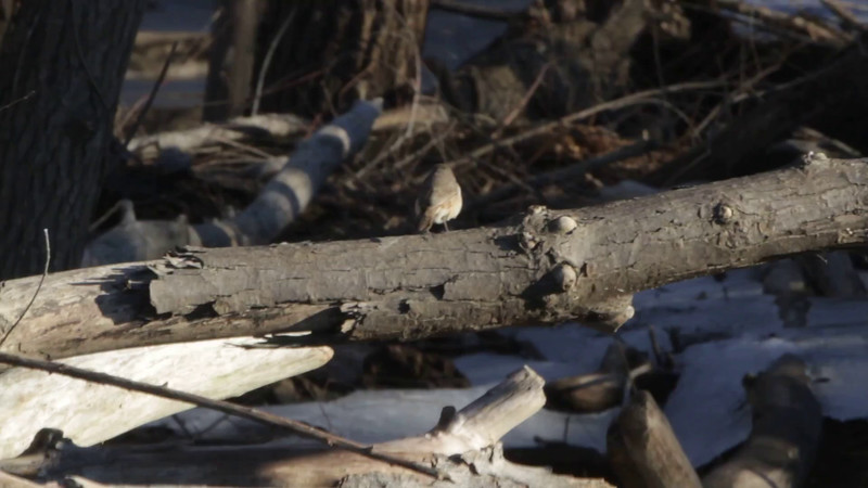 "Rock Wren <br> Maple Island Road <br> Riverlands Migratory Bird Sanctuary <br> 1/29/16 3:33 PM <br><br>  <span class=""noShowSmart""> <a href=""/MyKeywords/Bird-Videos/n-gF9bt/i-NpxLXSF/A""> <span style=""color:yellow"">Click here to open video in lightbox/full screen</span></a> </span>  <span class=""noShowGallery""> <a href=""/Birds/2016-Birding/Birding-2016-January/2016-01-29-RMBS-Rock-Wren/i-NpxLXSF/A""> <span style=""color:yellow"">Click here to open video in lightbox/full screen</span></a> </span>"
