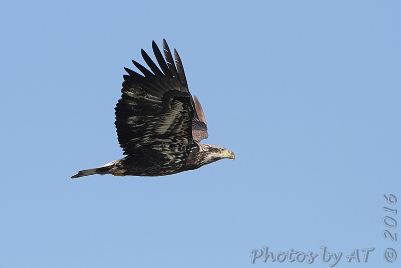 Bald Eagle <br /> Riverlands Migratory Bird Sanctuary <br /> 1/27/16