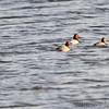 Canvasbacks<br /> Ellis Bay <br /> Riverlands Migratory Bird Sanctuary