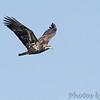Bald Eagle <br /> Riverlands Migratory Bird Sanctuary <br /> 1/27/16