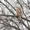 Red-tailed Hawk <br /> Bridgeton, MO <br /> 1/07/16