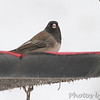 Dark-eyed Junco (Oregon) <br /> Bridgeton, Mo. <br /> 01/21/2016
