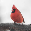 Northern Cardinal <br /> Bridgeton, MO <br /> 1/09/16