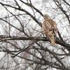Red-tailed Hawk <br /> Bridgeton, MO <br /> 1/07/16