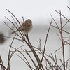 American Tree Sparrow <br /> Bridgeton, Mo. <br /> 01/21/2016