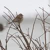 American Tree Sparrow <br /> Bridgeton, Mo. <br /> 01/21/2016