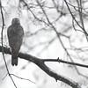 Cooper's Hawk <br /> Bridgeton, MO <br /> 1/09/16