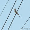 Western Kingbird <br /> (See location next photo)<br /> Cross from golf course <br /> Fee Fee Road