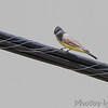 Western Kingbird <br /> 1st seen across road from nest <br /> 620 feet north of Mo Bottom Road on Fee Fee Road<br /> Hazelwood, MO