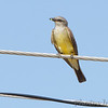 Western Kingbird <br /> Intersection of Anglum, Phantom <br /> and Hazelwood Logistics Center Drives <br /> Hazelwood, MO