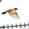 Western Kingbird <br /> St. Mary's Cemetery <br /> Hazelwood, MO