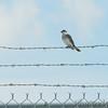 Eastern Kingbird <br /> Along Gist Road <br /> Bridgeton, MO