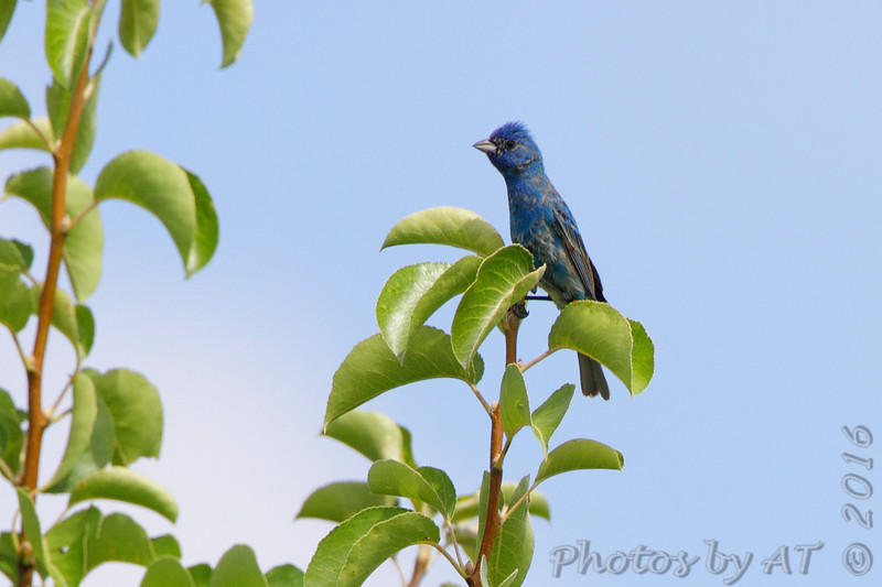 Indigo Bunting <br /> Electrical Sub-station <br /> Hazelwood, MO