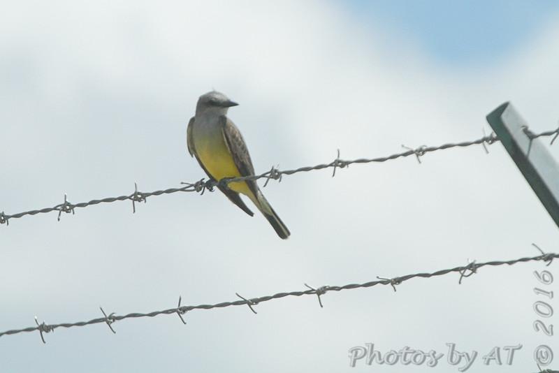 Western Kingbird <br /> Along Gist Road <br /> Bridgeton, MO