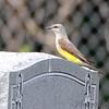 Western Kingbird <br /> St. Mary's Cemetery <br /> Fee Fee Road<br /> Hazelwood, MO