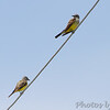 Western Kingbirds <br /> Bridgeton Municipal Athletic Complex (BMAC) <br /> Bridgeton, Missouri