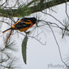 Baltimore Oriole <br /> Across street from handball courts <br /> Bridgeton Municipal Athletic Complex (BMAC) <br /> Bridgeton, Missouri
