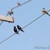 Western Kingbird and Brown-headed Cowbirds <br /> West side of ballpark <br /> Prouhet Farm Road <br /> Bridgeton, MO<br /> 7/09/16