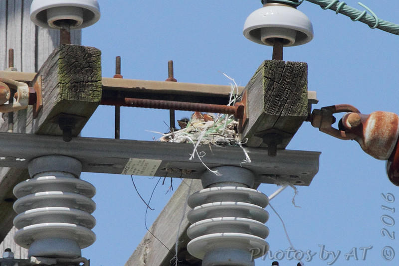 Western Kingbird and nest (originally found 6/18/16) <br /> Intersection of Earth City and St. Charles Rock Road <br /> Bridgeton, MO <br /> 2016-07-09