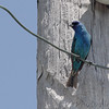 Indigo Bunting <br /> Peruque Creek Road, O'Fallon, MO