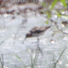 Thinking Dunlin with that long drooping bill <br /> (Long distance and heat waves) <br /> Firma and Dalbow Road intersection <br /> 7/09/16