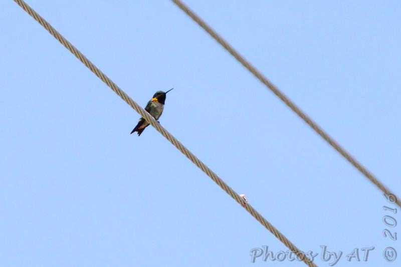 Ruby-throated Hummingbird <br /> Peruque Creek Road, O'Fallon, MO