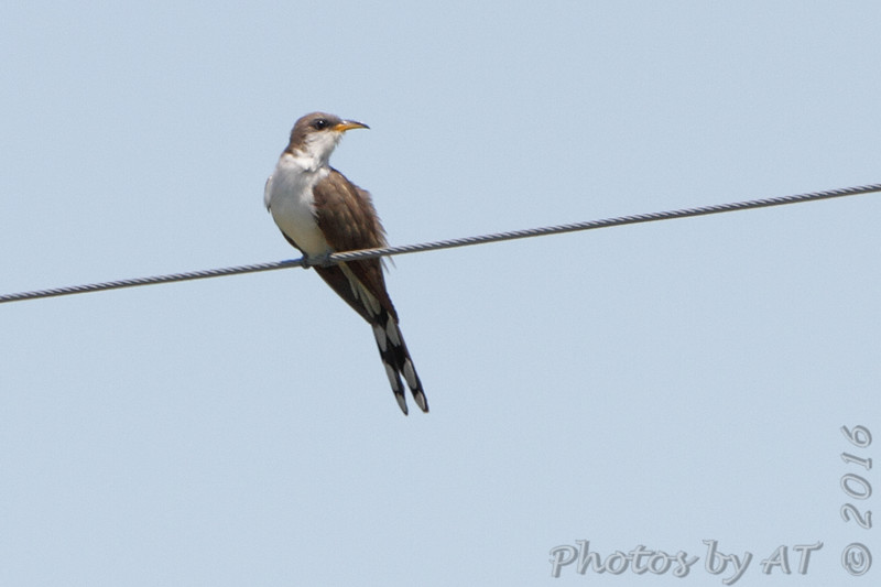 Yellow-billed Cuckoo <br /> Firma and Dalbow Road intersection <br /> 7/09/16