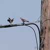 Northern Mockingbirds <br /> Intersection of Earth City and St. Charles Rock Road <br /> Bridgeton, MO <br /> 2016-07-09