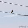 New Western Kingbird <br /> Intersection of Earth City and St. Charles Rock Road <br /> Bridgeton, MO
