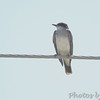 Eastern Kingbird <br /> Hazelwood Logistics Center Dr. <br /> Hazelwood. MO