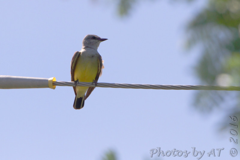 Western Kingbird behind church <br /> Hazelwood Logistics Center Dr. <br /> Hazelwood, MO